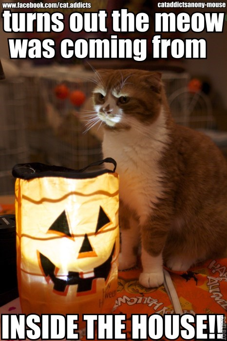 scary lights halloween captions the call is coming from inside the house scared meow Cats pumpkins - 6723705088