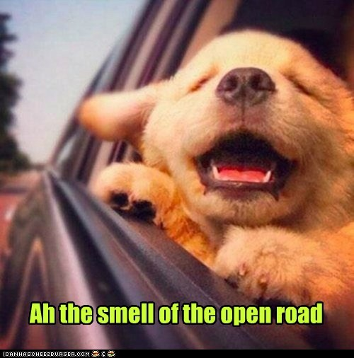 smells,dogs,open road,puppy,car,happy dog,golden retriever