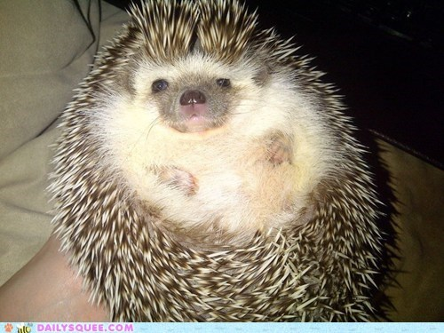 reader squee cuddles hedgehog pet pudgy squee - 6724664576