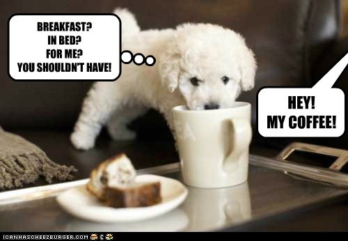 poodle dogs breakfast puppy coffee noms