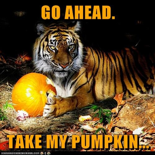 pumpkins,tiger,threat,go ahead