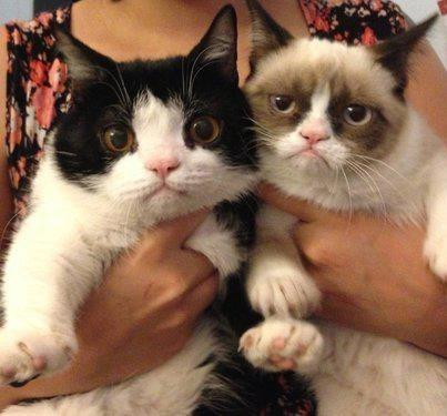 cat Grumpy Cat - 6726412544
