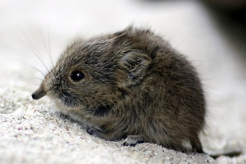 elephant shrew nose pinnochio squee mouse