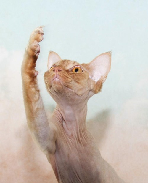 paws cyoot kitteh of teh day kitten actors shakespeare devon rex Cats dramatic - 6727062272