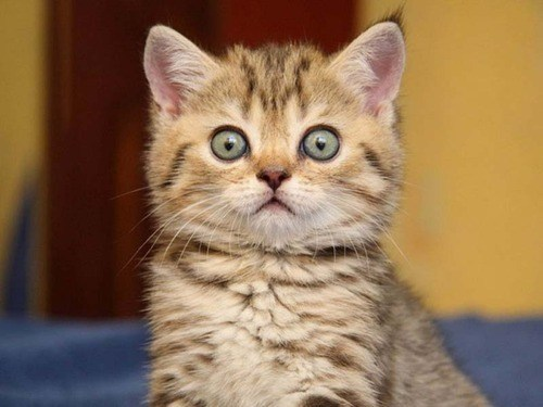 cyoot kitteh of teh day surprised kitten big eyes what has been seen wide eyed Cats - 6727083520