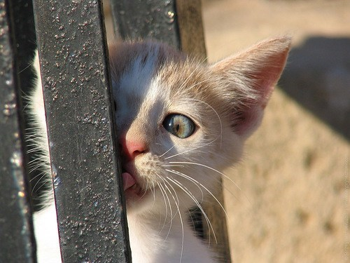 cyoot kitteh of teh day,kitten,poles,stuck,licking,tongues,tongue stuck,Cats