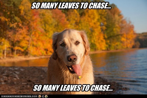 autumn dogs chasing leaves golden retriever fall - 6728600320