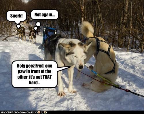 dogs sled dogs snow husky huskie derp - 6728889856