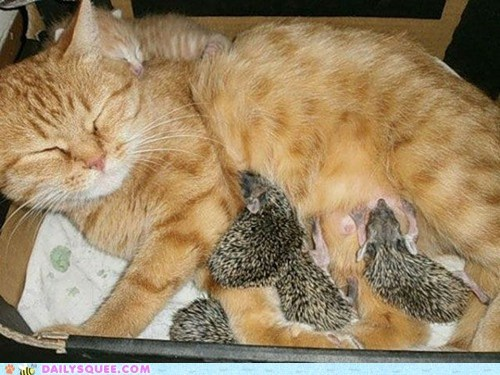 Babies,kitten,Interspecies Love,nursing,mommy,hedgehog,Cats,squee