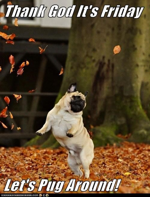 dogs,pug,TGIF,leaves
