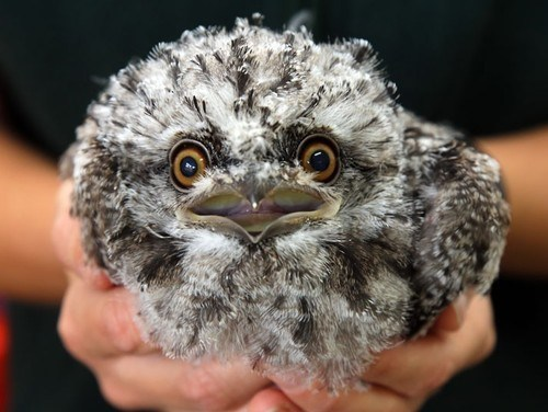 floof birds Fluffy tawny frogmouth squee - 6729909760
