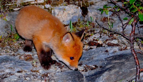 orange foxes tiny fox kit squee delightful insurance