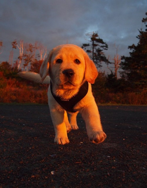 dogs puppy sunrise golden lab cyoot puppy ob teh day