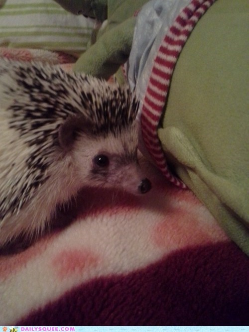 reader squee spines hedgehog pet squee - 6733489920