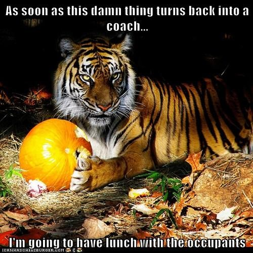 pumpkins SOON cinderella waiting lunch tiger coach