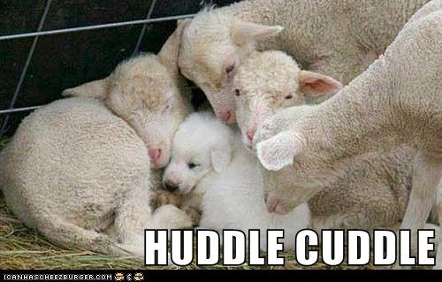 dogs cuddle Interspecies Love sheep lambs