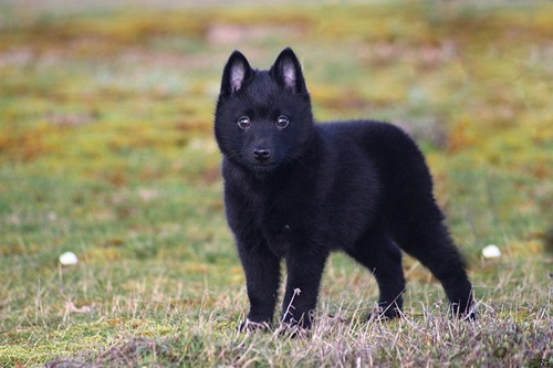 dogs goggie ob teh week winner schipperke face off - 6738450688