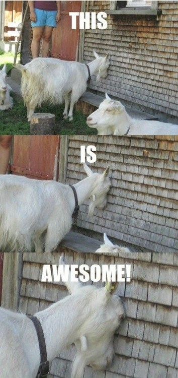 goat,awesome,party hard,wall