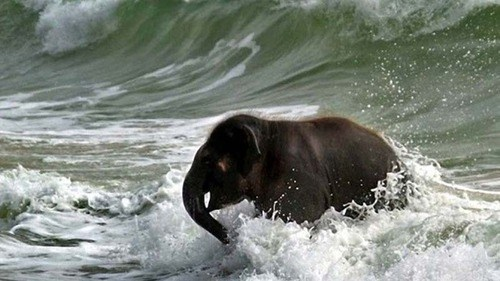wave splashing baby elephant ocean surfing squee - 6742370560