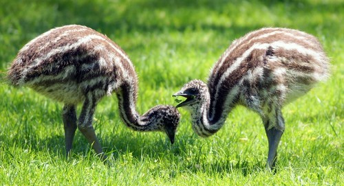 Babies emus birds feathers stripes squee - 6742372096