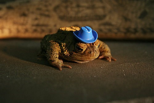 wild west toad cowboy hat cowboy squee hat frog - 6742374912