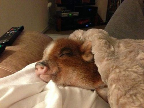 bed piglets pig squee sleeping - 6742381824