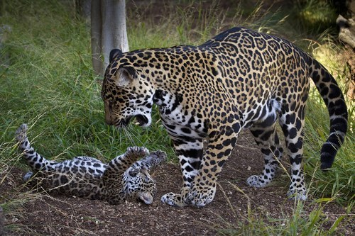 Babies jaguar wiggle cub mama squee - 6742385920