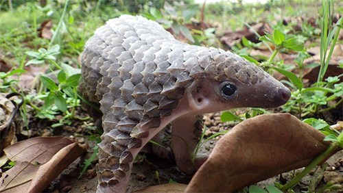 dragon Pangolin scales squee spree squee - 6742461184