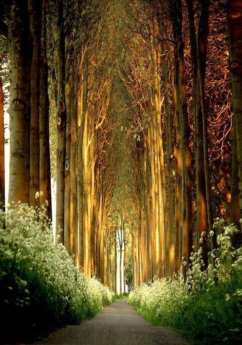 belgium road landscape tree tunnel - 6742511360