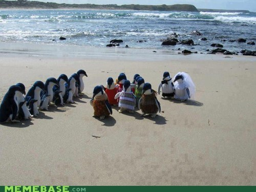 penguins,wedding,animals