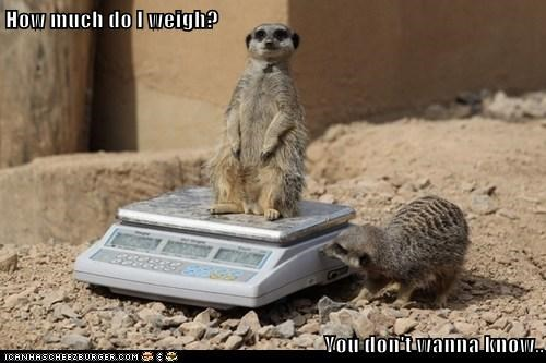 fat scale Meerkats weigh dont-want - 6744307968