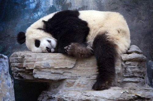 panda panda bear rock nap attack squee sleeping - 6745971456