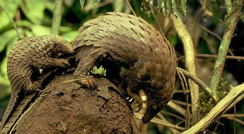 scaled baby Pangolin mommy squee spree squee - 6746037504