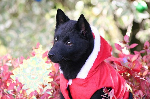 hero dogs goggie ob teh week schipperke WWII