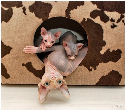 Babies cyoot kitteh of teh day kitten nekkid moms family Cats sphynx hairless - 6746364160