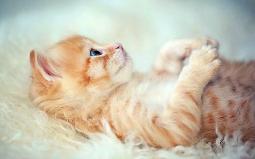 cyoot kitteh of teh day tummies kitten tummy rubs bellies on back Cats - 6746370560