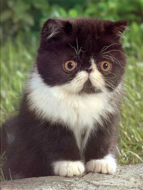 cyoot kitteh of teh day kitten eyebrows flat face mustaches Cats whiskers - 6746395648