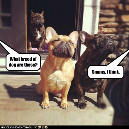 dogs pun breed french bulldogs smug - 6747123968