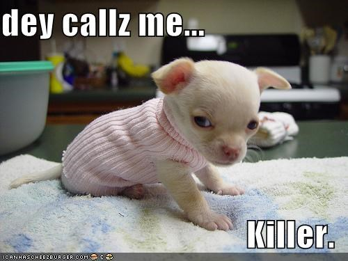 chihuahua,cute,evil,puppy,sweater