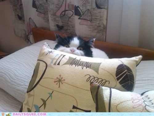 reader squee pets pillows Cats hiding squee - 6747185152