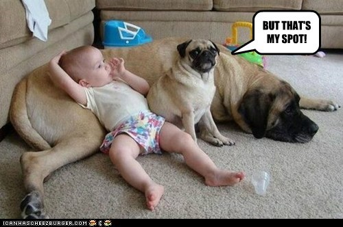 dogs,baby,sharing,pug,my spot,mastiff