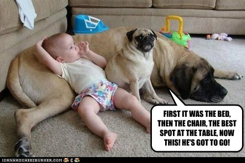 dogs,baby,pug,jealousy,mastiff,taking over