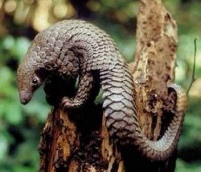 climbing Pangolin anteater scales squee spree squee - 6748963840