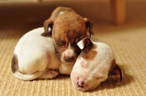 dogs puppy pitbull cuddling sleeping cyoot puppy ob teh day - 6749197056