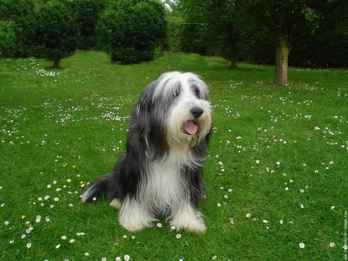 dogs,versus,goggie ob teh week,bearded collie,face off