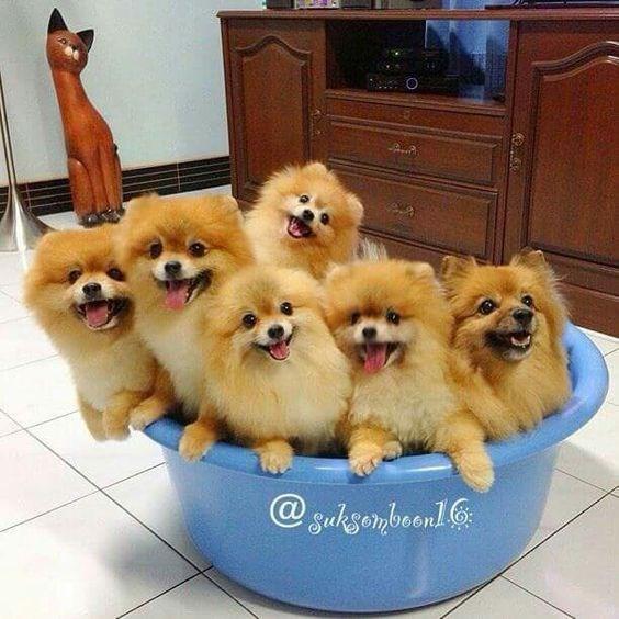 pomeranian tiny fluffy dogs