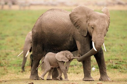 Babies holding mommy elephants trunks squee delightful insurance - 6751705344