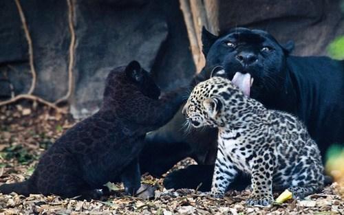 Babies jaguars mama grooming cubs squee spots - 6751706624