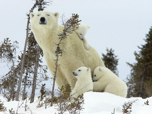 Babies,snow,polar bears,mommy,cubs,family
