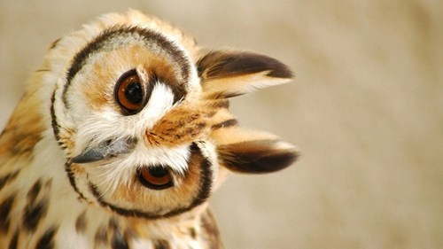 Long Eared Owlie